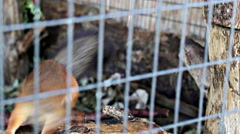 Crazy squirrel in a cage. Animals suffer in captivity Stock Footage