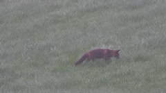 Red fox (Vulpes vulpes) hunting for insects in meadow Stock Footage