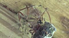 Spider eating cicada Stock Footage