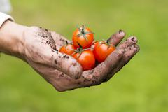 Eco agriculture - fresh raw tomatoes in a gardener hand Stock Photos