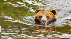 4K Swimming Grizzly Bear Wildlife Close Up, Lake Swim to Shore, Animal in Nature Stock Footage