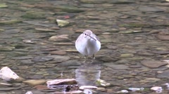 Sand piper eating bugs along a river Stock Footage