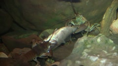 Two crayfish fighting over a fish on river bottom Stock Footage