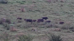Wild pigs (Sus scrofa) with young running through open grassland in summer Stock Footage