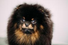 Close Up Black Pomeranian Spitz Small Dog Stock Photos