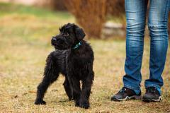 Black Puppy Of Giant Schnauzer Or Riesenschnauzer Dog Outdoor Stock Photos