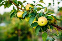 Close View Of Apple Tree Branch, Hung With Yellow Pink Apples Stock Photos
