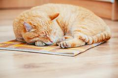 Peaceful Orange Red Tabby Cat Male Kitten Sleeping In His Bed On Laminate Floor Stock Photos