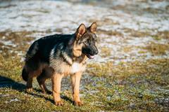Beautiful Young Brown German Shepherd Puppy Dog Staying Stock Photos