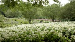 Hydrangea Annabelle colonies wide angle in Japan Stock Photos