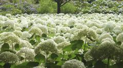 Hydrangea Annabelle colonies in Japan Stock Photos