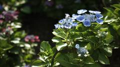 Blue hydrangea in day light in Japan Stock Photos