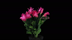 Growing and rotating pink Christmas cactus, RGB + ALPHA format Stock Footage
