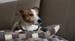 Jack Russell Terrier dog lying couch, falls asleep Stock Footage
