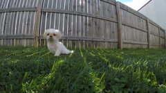 Shih Tzu Puppy Playing in Grass : @ 60 FPS Stock Footage