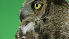 Great horned owl looking handsome Stock Footage
