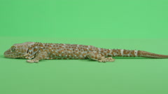 Gecko side view medium shot Stock Footage