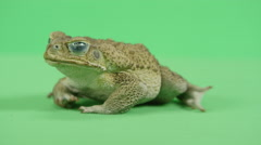 Cane toad turning sideways Stock Footage