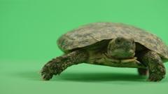 Pancake Turtle walks off camera Stock Footage