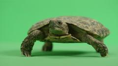 Pancake turtle breathing close up Stock Footage
