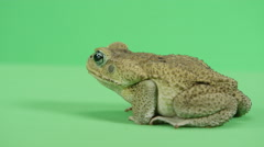 Cane toad rear view Stock Footage
