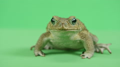 Medium shot of south american cane toad Stock Footage