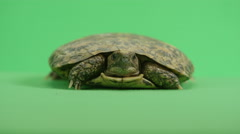 Pancake Turtle peeks out of his shell Stock Footage