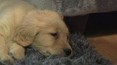 A very slow pan of a golden retriever puppy laying down. Stock Footage