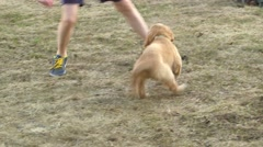 Golden retriever puppy plays with boy's shoelace Stock Footage