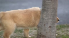 Golden retriever puppy walks to boy with stick Stock Footage
