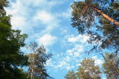 Pine forest on the background of the sky with clouds Stock Photos
