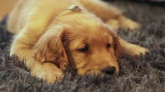 Golden retriever puppy laying head down on carpet. Stock Footage