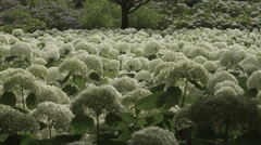 Hydrangea Annabelle colonies, non color grade, in Japan Stock Footage