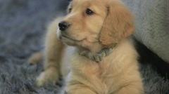 Goldren Retriever puppy looks around and gets up Stock Footage