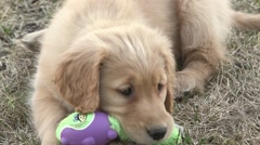 Golden retriever puppy chews plays with toy. Stock Footage