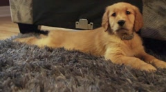 Golden retriever laying sprawled out on carpet. Stock Footage