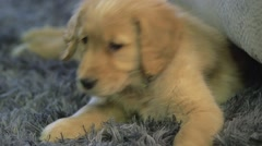 Golden retriever puppy lifts head and looks around Stock Footage