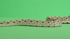 Slithering Hognosed snake Stock Footage