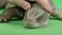 Man pets a monitor lizard Stock Footage