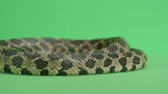 Fox snake coiled up Stock Footage