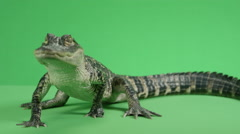 Alligator breathing deeply isolated on background Stock Footage