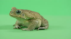 South american cane toad side profile Stock Footage