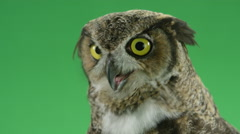 Great horned owl looking nervous Stock Footage