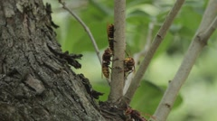 Many hornets collecting bark Stock Footage