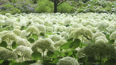 Hydrangea Annabelle colonies, color grade, in Japan Stock Footage