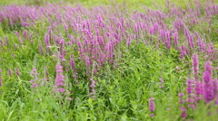 Wildflowers, Spring meadow with flowers. Ukrainian steppe with purple flowers Stock Footage