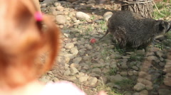 A little girl watching the raccoons at the zoo Stock Footage