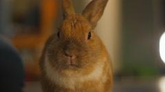 Close up of Pet decorative rabbit Stock Footage
