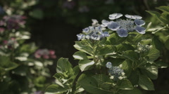 Blue hydrangea in day light, non color grade, in Japan Stock Footage