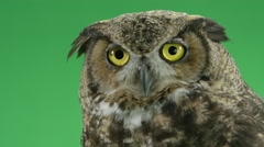 Great horned owl spots his prey Stock Footage